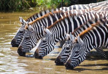 Poster de jardin Bestsellers Group of zebras drinking water from the river. Kenya. Tanzania. National Park. Serengeti. Maasai Mara. An excellent illustration.