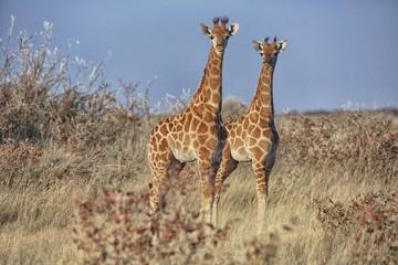 young girafes at etosha