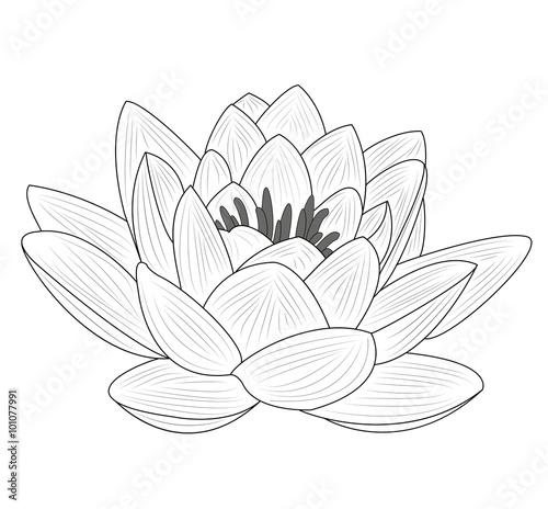 Lotus Flower Vector Isolated On White Fiore Di Loto Vettoriale