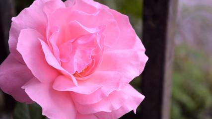 Old-fashioned Rose closeup