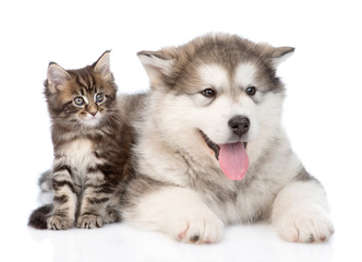 alaskan malamute dog and maine coon cat  together. isolated on w