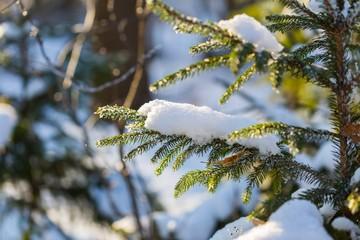 Winter spruce branch under snow in good light