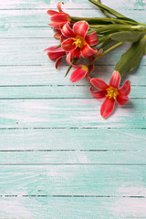 Fresh  pink tulips flowers  on turquoise  painted wooden planks.