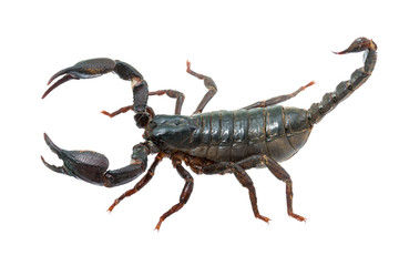 Giant forest female scorpion species found in tropical and subtropical areas in Asia.