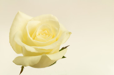Blossom white rose with vintage effect