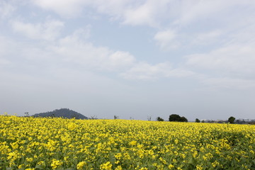Yellow flower field bloom in spring on blue sky background