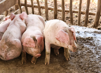 young pigs lay in wooden cage