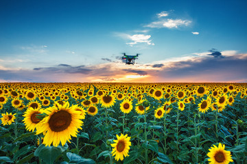 Field of blooming sunflowers on a background sunset and flying drone above