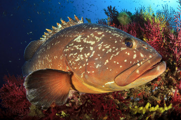 Medes Islands grouper