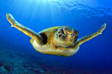 Flying green turtle
