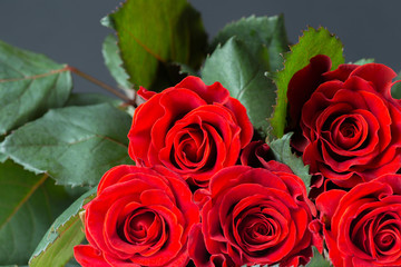 Beautiful red rose, gift