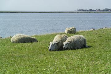 Zwei liegende Schafe auf Fehmarn