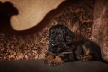 Black hovawart puppy portrait