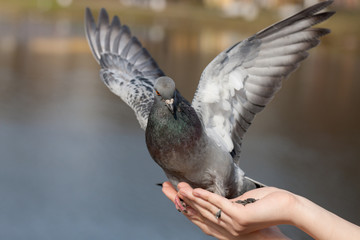 portrait of pigeon on the palm