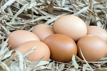 chicken eggs on nestle