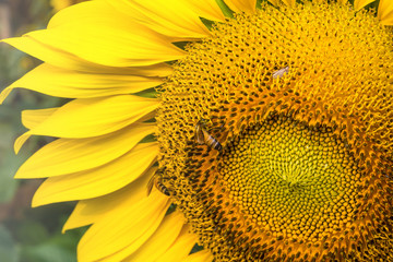 Sunflower in garden and bee in happiness.