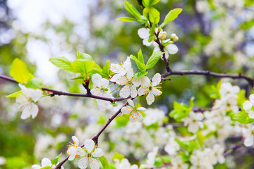 Apple tree branch with flowers in spring garden