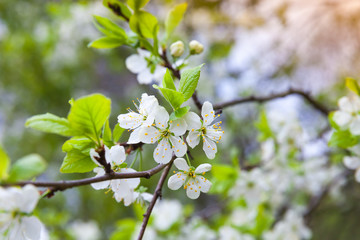Apple tree branch with white flowers in spring
