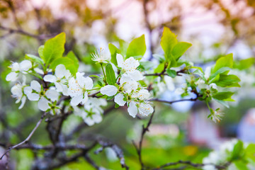 Apple tree branch with white flowers in garden