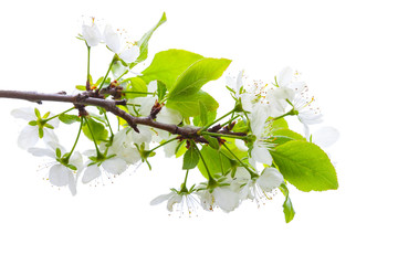 Apple tree branch with white flowers isolated