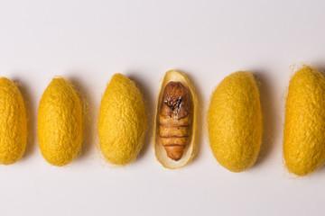chrysalis silkworm cocoons