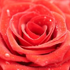 Beatiful dark red rose.