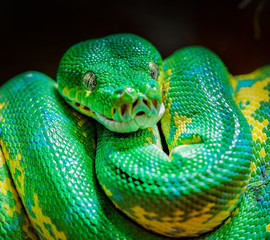 Python close up.