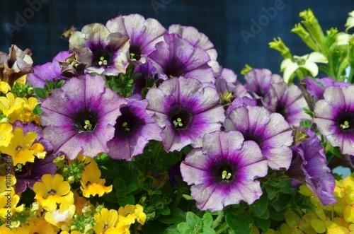 Petunia - Petunien blühen im Pflanzkübel rot-gelb\