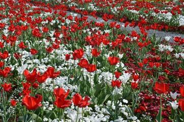 Tulpenwiese in Frühlingslandschaft