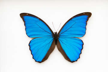 Beautiful blue butterfly, morpho didius,