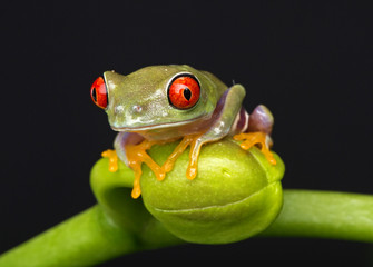 Tree Frog on Flower Bud