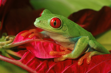 Red Eyed Tree Frog on Colorful Foliage