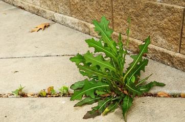 Weed Growing in Crack of  Sidewalk