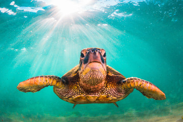 Fototapete - Endangered Hawaiian Green Sea Turtle cruises in the warm waters of the Pacific Ocean in Hawaii