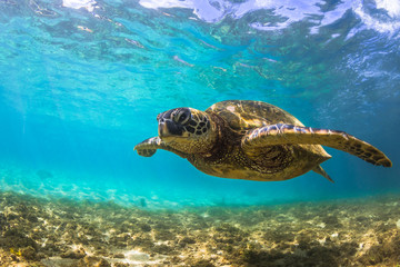 Endangered Hawaiian Green Sea Turtle cruises in the warm waters of the Pacific Ocean in Hawaii