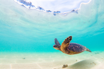 Wall Mural - Endangered Hawaiian Green Sea Turtle cruises in the warm waters of the Pacific Ocean in Hawaii