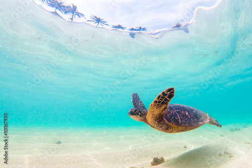 Fototapete Endangered Hawaiian Green Sea Turtle cruises in the warm waters of the Pacific Ocean in Hawaii