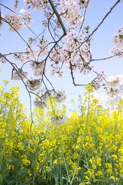 青空と桜と菜の花