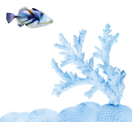 single isolated fish near light blue coral