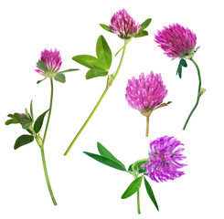 set of five pink clover flowers isolated on white