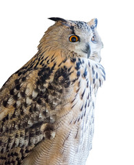 Fototapete - big eagle-owl on white