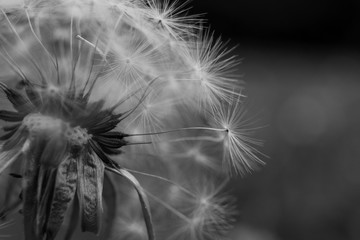 An extreme close up of a dandelion and its individual seeds.