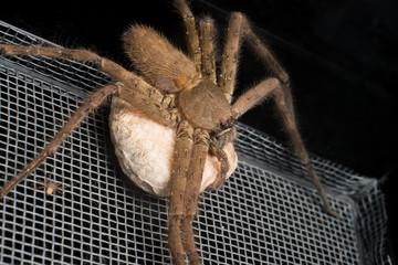 Female huntsman spider holding its egg sac
