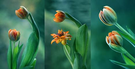 Obraz Zielone tulipany - tryptyk - fototapety do salonu