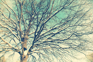 vintage tree. Oak-tree branches covered snow and frost against blue sky