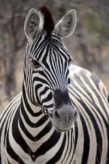 Zebra Portrait in Etosha, Namibia