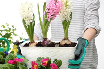 Obraz Hiacynt. ogrodnictwo - fototapety do salonu