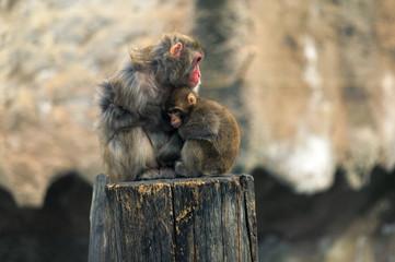 The Japanese macaque - Macaca fuscata