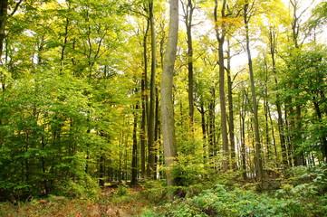 noch grüner Buchenwald im Oktober