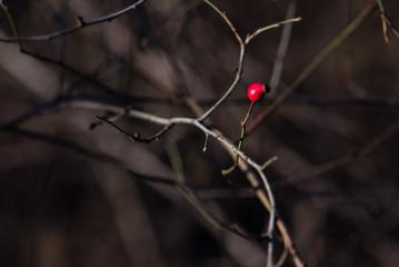 Berry wild rose on branch